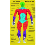 Puzle de goma eva sistema muscular 5030
